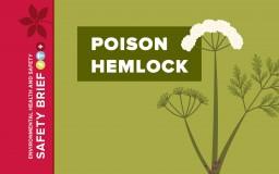 Vector image of poison hemlock.